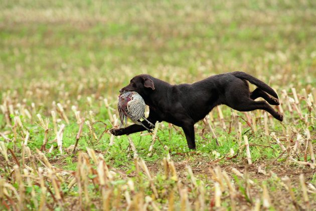 chocolate Labrador picking up