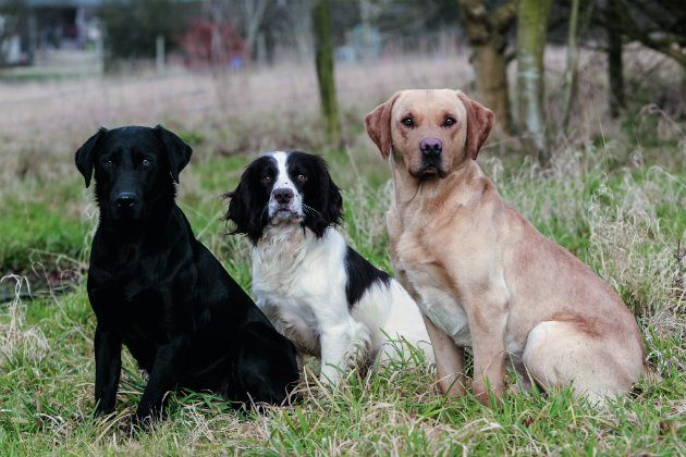 Labradors and spaniels