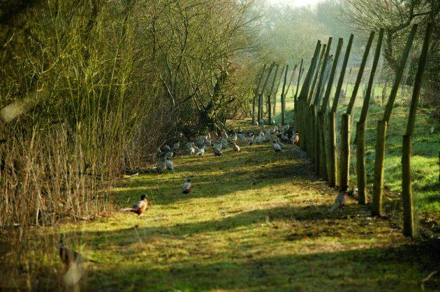Pheasants in pen