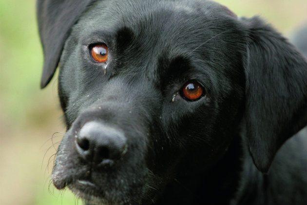 Black Labrador bitch
