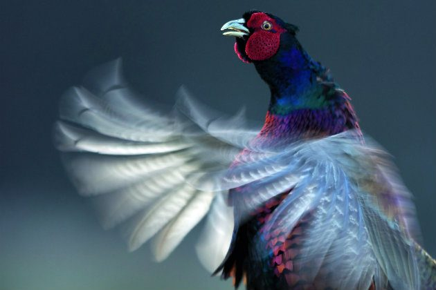 What makes a game bird fly well on shoot days? - Shooting UK