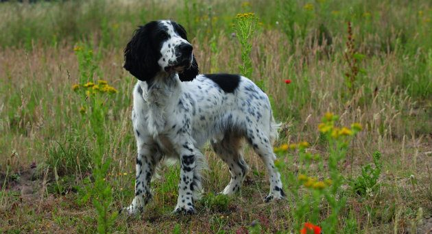 The Sprocker A Cross Between Er And Springer Has Become Increasingly Por With Many Retaining Best Characteristics Of Both Breeds Credit