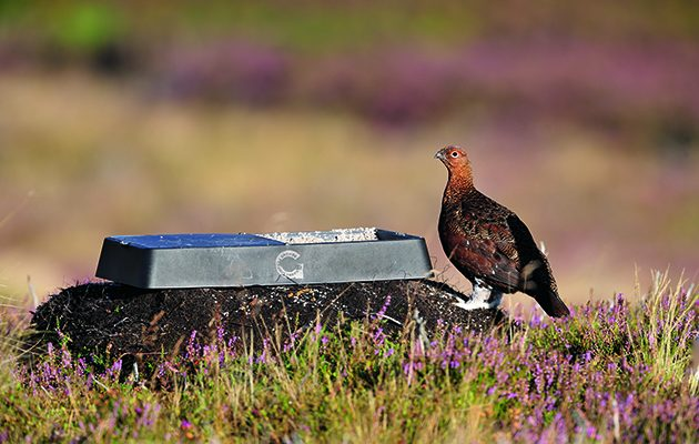 moorland grouse