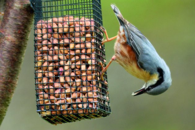 Nuthatch eating from a feeder
