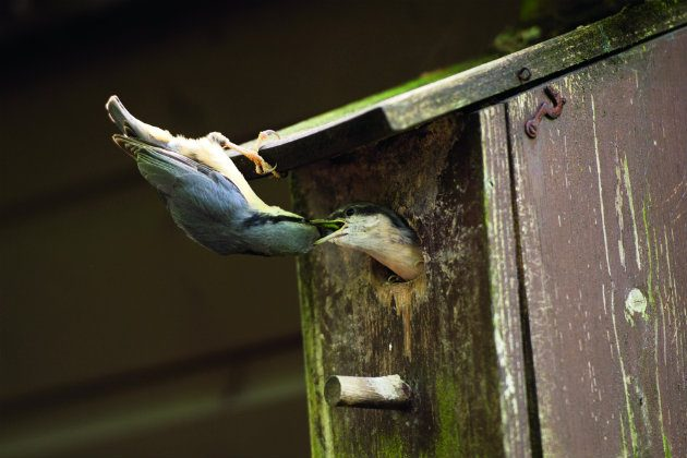 Nuthatch nest box