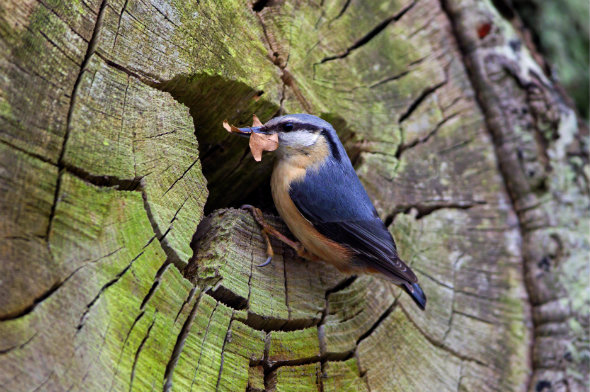 Nuthatch nest