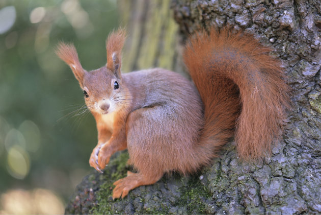volunteers needed to save red squirrels - and cull greys