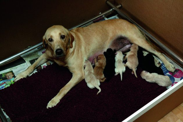 Labrador bitch with puppies