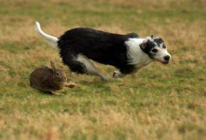 lurcher with rabbit