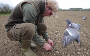 pigeon shooting on spring drillings