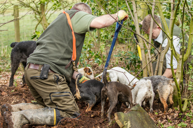 Ratting with terriers