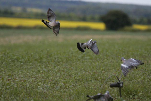 Woodpigeon near rape field