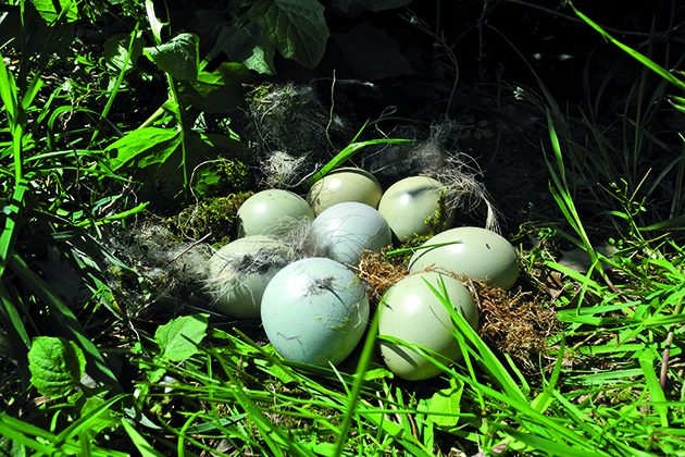 Breeding season for pheasants