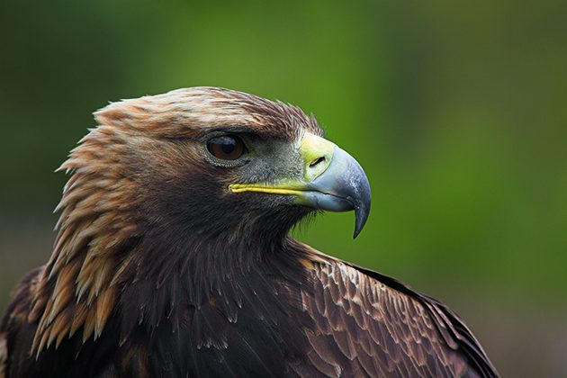 Raptor Golden Eagle