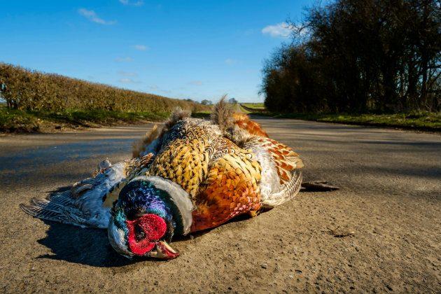 pheasant roadkill