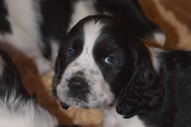 What food is best for my gundog puppy?