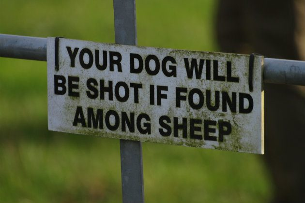 how to stop your dog chasing sheep