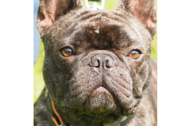 Why The French Bulldog Suffers From Ill Health Resulting In High