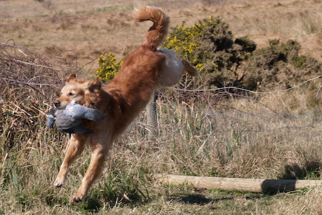 Golden retrievers - why aren't they more popular in the field?