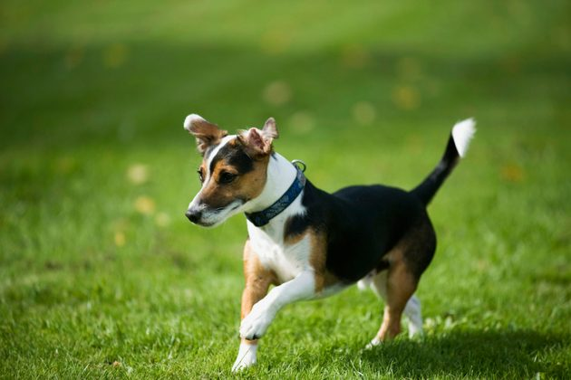 why does my jack russell hop skip and jump a vet gives the answer