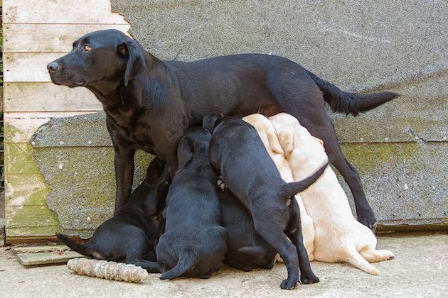 New regulations on breeding dogs