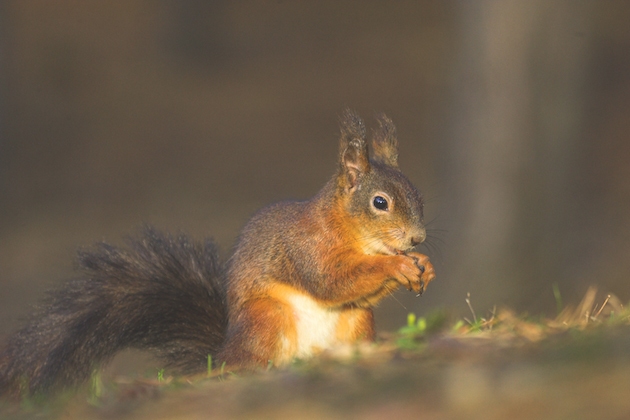 Save the red squirrel - how you can do your bit to help