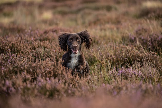 Teaching a dog quartering - here's how to get started