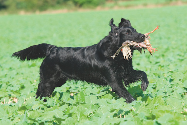 Unusual gundog breeds - which of these have you come across?