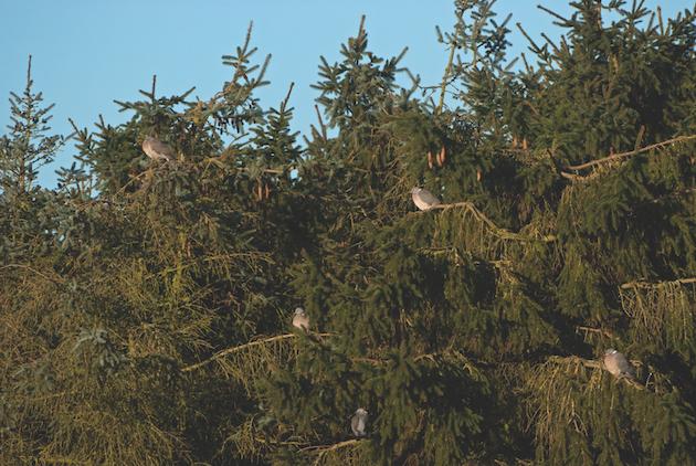Roosting pigeons