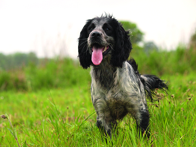 Cocker colour - cocker spaniels come in almost any colour you can think of