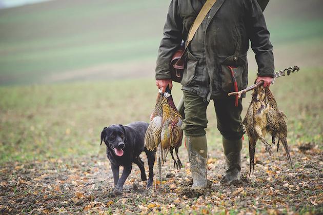 Shot pheasants