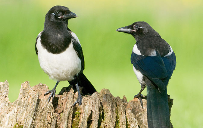 Magpies (Alamy)
