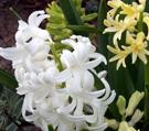 white hyacinths.jpg