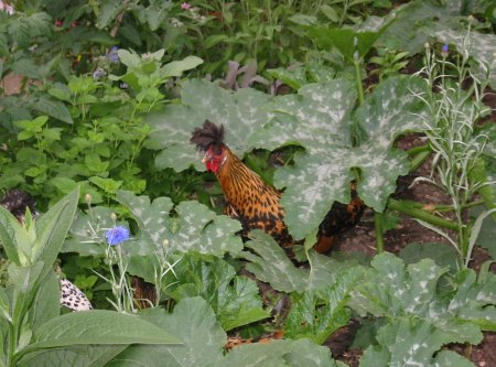 Chickens in leaves