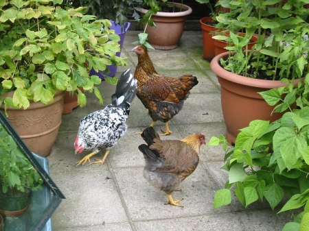 Chickens with pots