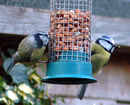 Bluetits feeder