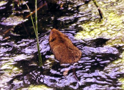 water vole in water