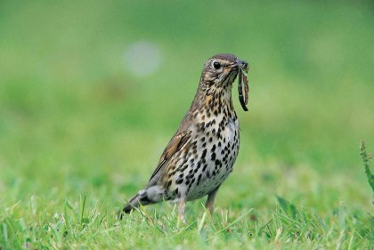 Song Thrush worm