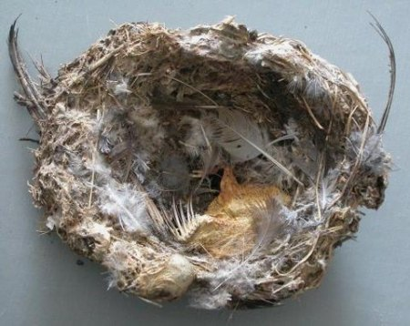 nest swift