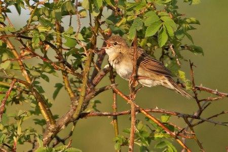 Grashopper Warbler