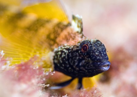 black faced blenny