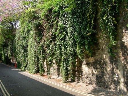 ivy roadside