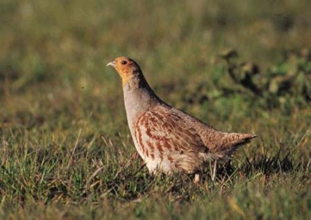 Grey-partridge-