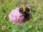 Bumblebee small