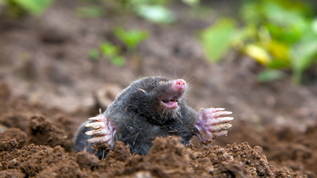 common_mole.jpg