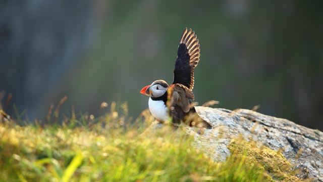 Scotland puffin