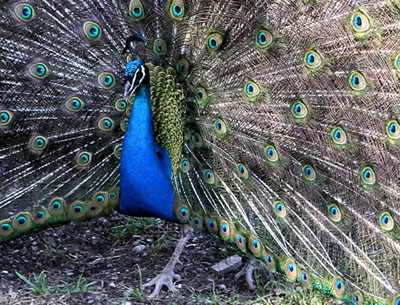 The inspiration of peacocks - Country Life - photo#46