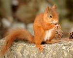 Red Squirrel th.jpg