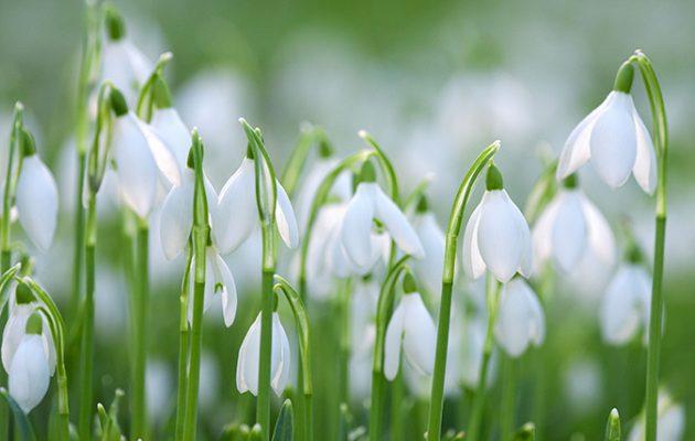 Snowdrops - Galanthus nivalis UK