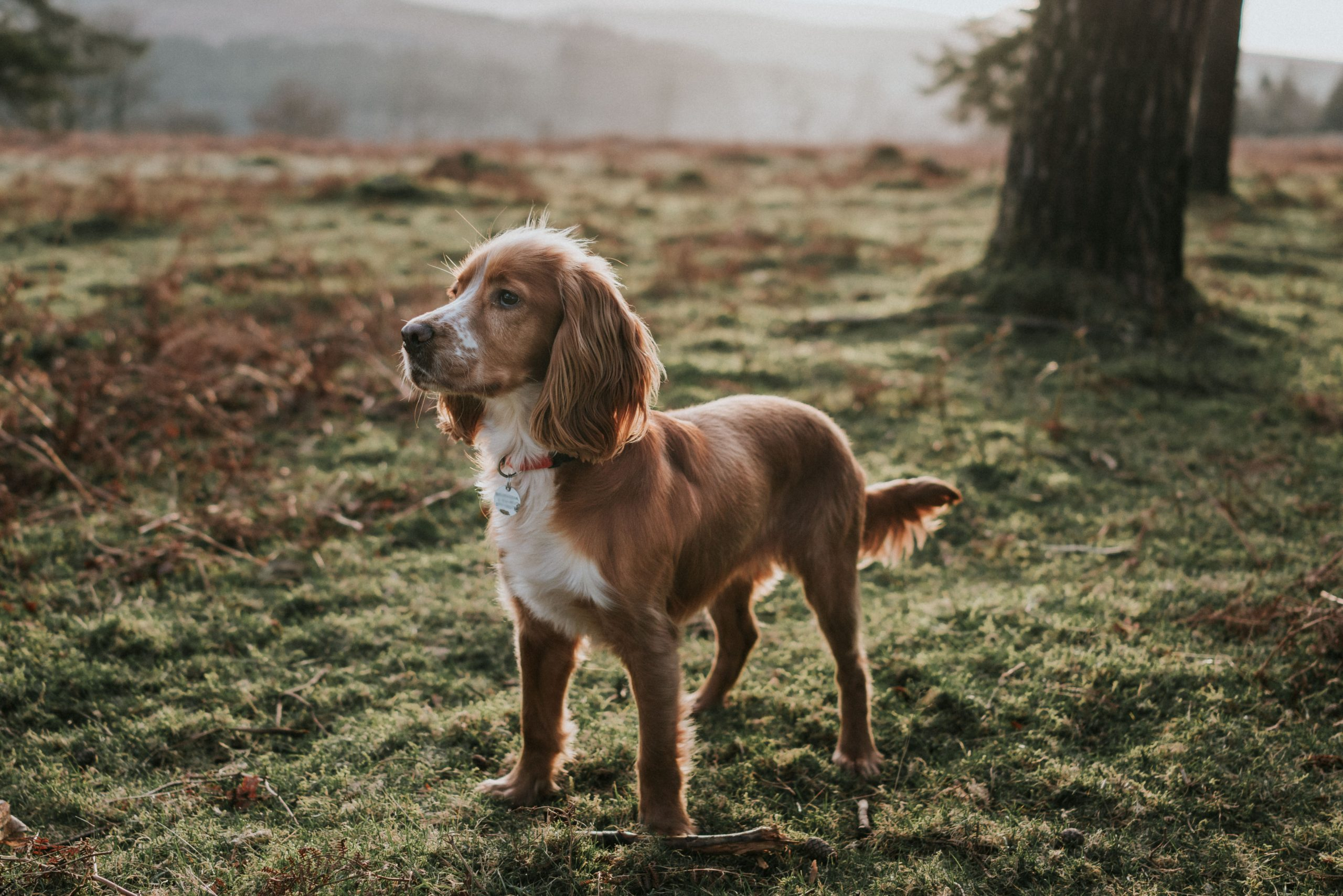Cocker Spaniels The Irresistible Dogs With Loyalty To Melt The Coldest Of Hearts Who Ve Swept All Before Them At Crufts Country Life